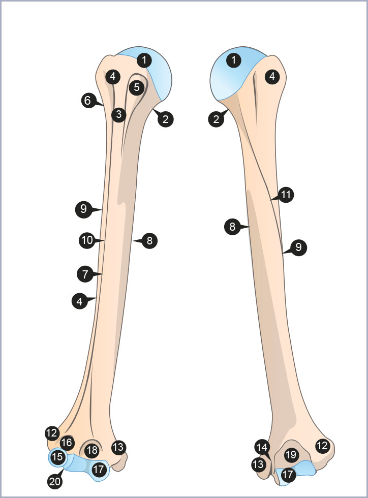 Anatomie du coude   Le coude   Membre supérieur   Anthropotomia f215a1890e0