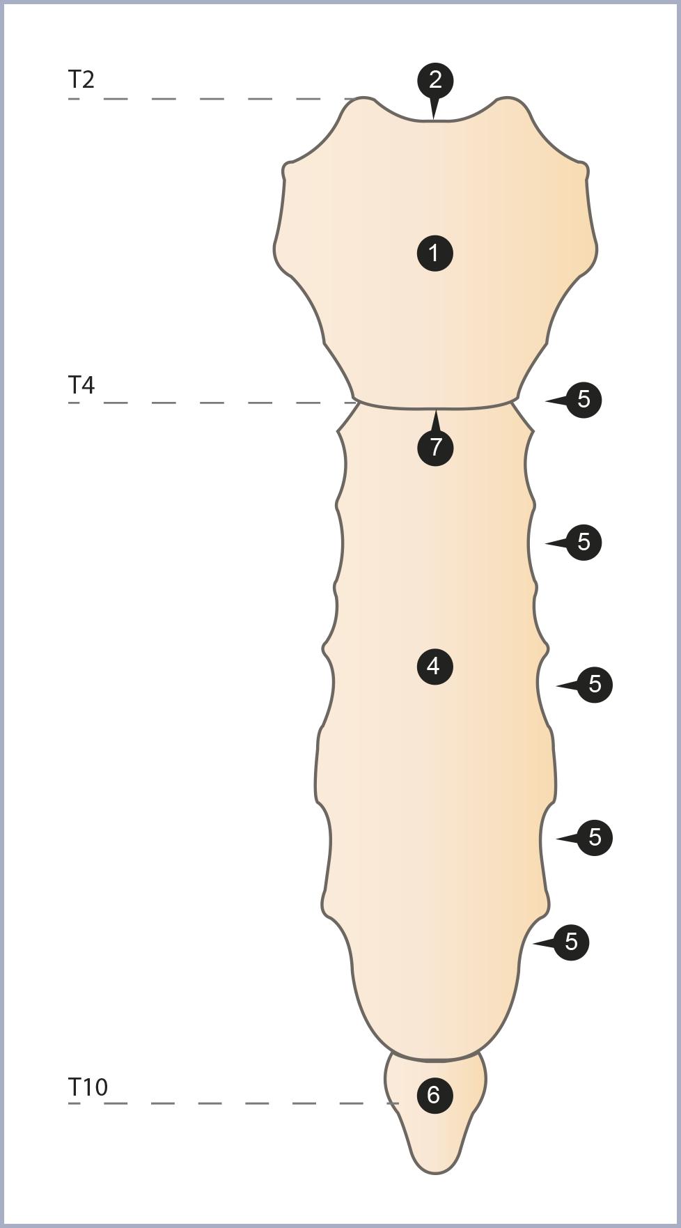 Triangle latéral du cou   Le cou   Tête et cou   Anthropotomia ad0ef17de1f