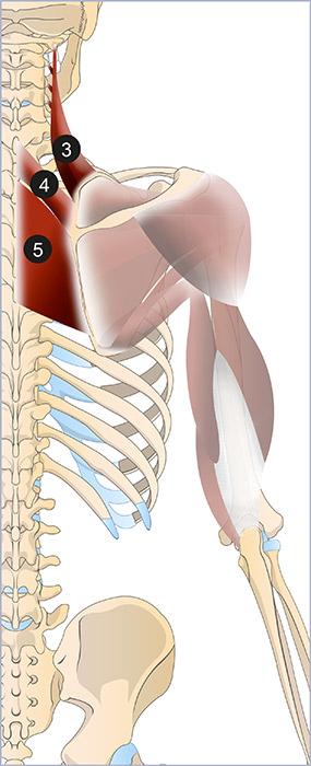Anatomie de l épaule   L épaule   Membre supérieur   Anthropotomia abd4d6e7779