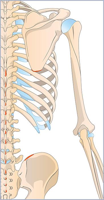 Face dorsale de l épaule   L épaule   Membre supérieur   Anthropotomia bafa7ef04d3